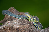 489000008 a captive gray coloration variable bush viper atheris squamigera sits coilded on a limb species is native to the democratic republic of the congo