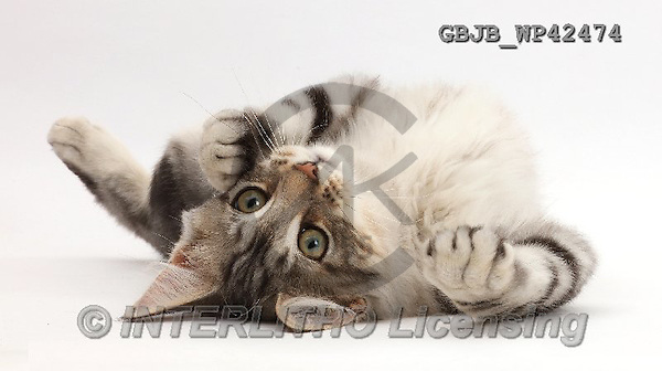 Kim, ANIMALS, REALISTISCHE TIERE, ANIMALES REALISTICOS, fondless, photos,+Silver tabby kitten, Loki, 3 months old, lying on his back,++++,GBJBWP42474,#a#