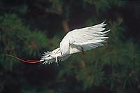 red-tailed tropic bird, adult, Phaethon rubricauda, Midway Atoll, Papahanaumokuakea Marine National Monumen, Northwestern Hawaiian Islands, Hawaii, Pacific Ocean