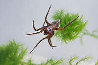 Wasserspinne, Wasser-Spinne, Silberspinne, Argyroneta aquatica, diving bell spider, water spider, l'Argyronète