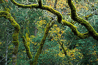 Twisted green Moss covered trees and branches in mixed forest, Austin Creek State Recreation Area, Sonoma County, California.