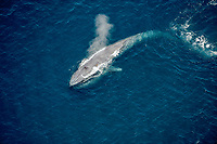 blue whale, Balaenoptera musculus, spouting, blowing, endangered species, San Diego, California, USA, Pacific Ocean