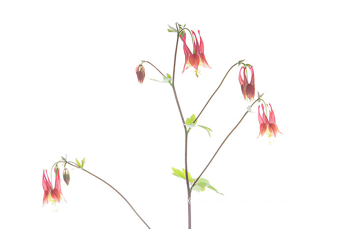 30099-00717 Wild Columbine (Aquilegia canadensis) (high key white background) Marion Co. IL