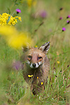 A Red fox (Vulpes vulpes) walking through a flower meadow. Wales, UK