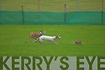 """Drawbar"" and ""Vintage Trio"" in the Semi Finals of the Baily Cup on Thursday during the Tralee Coursing at Ballybeggan Racecourse.   Copyright Kerry's Eye 2008"