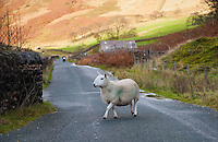 Cheviot ewe crossing the road at Sykes, Dunsop Bridge, Lancashire in the Forest of Bowland.