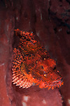 Tassled scorpionfish: Scorpaenopis oxycephala, red, well camouflaged against pink sponge, Komodo National Park