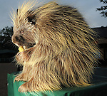 Ernie, a North-American Porcupine, eats a biscuit at the Zoo Friends of Houston's 22nd Zoo Ball Friday April 30,2010.  (Dave Rossman Photo)