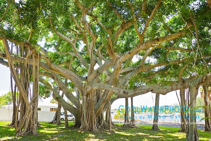 banyan tree, Ficus sp., Jupiter, Florida, USA, Atlantic Ocean