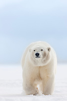 Adult female polar bear walks on the snow on an island in the Beaufort sea, arctic, Alaska.