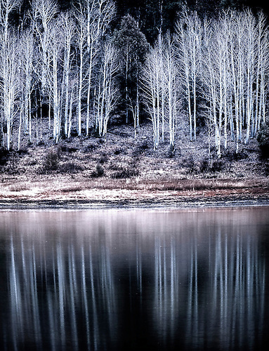 Aspens are reflected in a nearby pond during winter in Southern Utah.