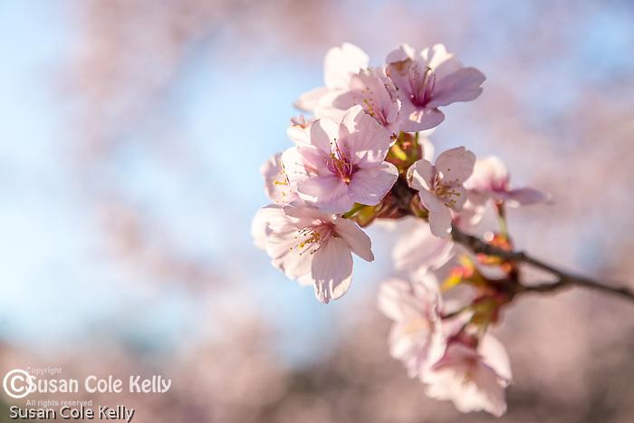 Sargent Cherry blossoms at the Arnold Arboretum in Jamaica Plain, Boston, Massachusetts, USA
