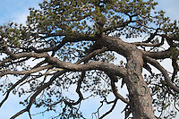 Tree-top with beautiful branch arrangement,reaching out for sky at Troodos mountains,Cyprus.