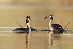 Great-Crested Grebe pair building nest, Shropshire, March