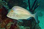 Calamus nodosus, Knobbed porgy, Florida Keys
