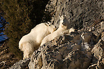 Two mountain goats rest on a cliff edge in Wyoming