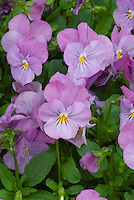 Viola 'Sorbet Lilac Ice' pinkish pansy violets in  spring bloom