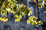 Backlighted leaves, Trinity College, Dublin, Ireland