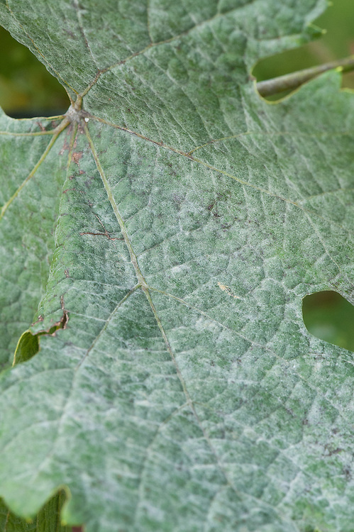 Leaves of a grape vine with powdery mildew, early September. A grey-white powdery coating appears on the leaves and can develop into dark blotchy patches. It is caused by a range of different fungi.