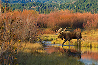 Bull Moose (Alces alces) by old beaver pond surrounded by willow bushes, Western U.S., fall.