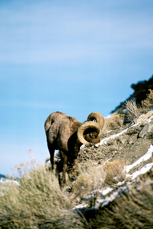 Wyoming: Yellowstone National Park.  Bighorn sheep near Gardiner.  Photo #: wyyell102..Photo copyright Lee Foster, www.fostertravel.com, 510/549-2202, lee@fostertravel.com,