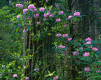 Del Norte coast Redwood State Park, CA: Flowering Rhododendron (R. macrophyllum) in an old growth forest of Redwood and Douglas Fir