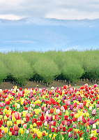 Mixed tulips and fruit orchard in spring. Woodburn. Oregon