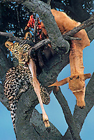 654307021 a wild juvenile african leopard panthera pardus sits in the notch of an acacia tree feeding on a topi kill in the masai mara reserve in keny east africa