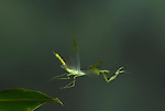 Praying Mantis, in flight, Order: Mantodea, Costa Rica, High Speed Photographic Technique, flying, tropical jungle, green, eye spots on wings, leaping.Costa Rica....