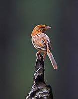 Bachmann's sparrow