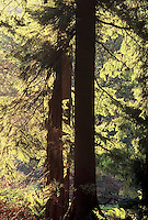 Backlit Western Red Cedar (Thuja plicata) and Douglas Fir (pseudotsuga douglasii) trunks, Stanley Park, Vancouver, BC.