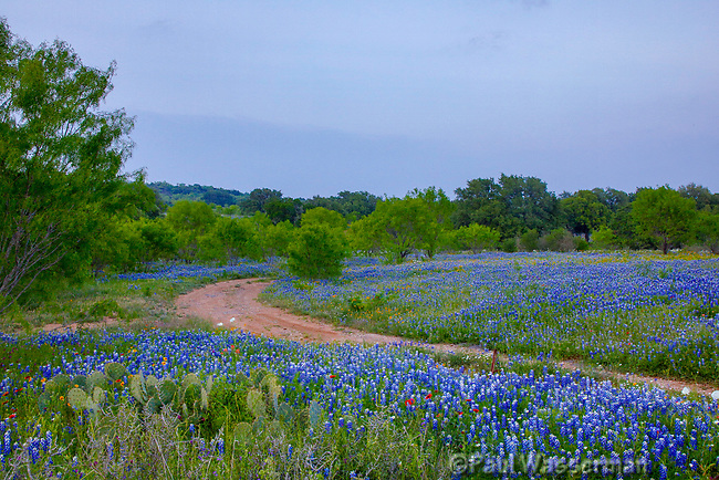 Bluebonnets, Indian Blanket, and Other Wildflowers Along a Dirt Road in Texas