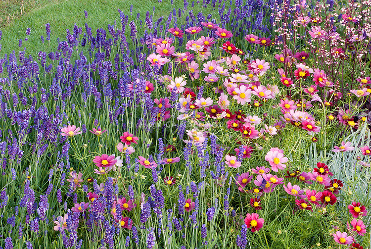 Annual Perennial Flower Garden With Pink And Red Cosmos And Blue