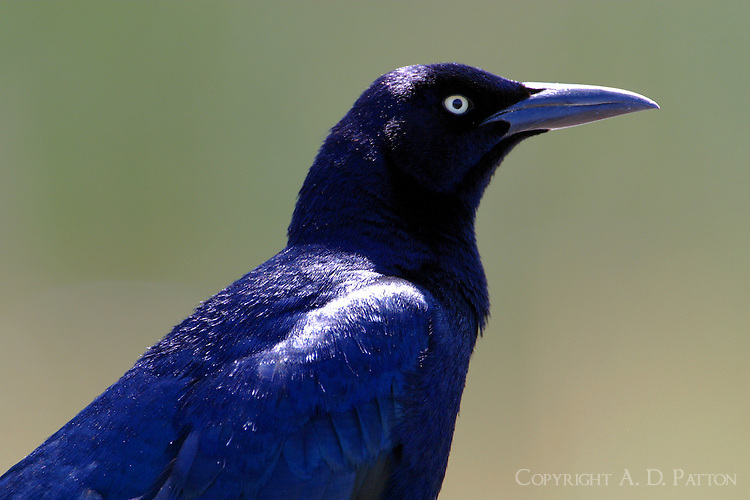 Adult male great-tailed grackle, head-and-shoulders view