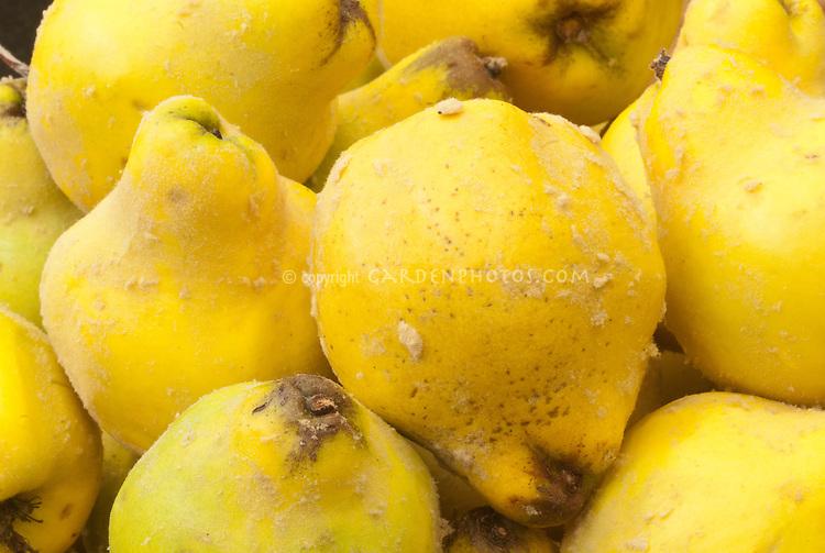 Cydonia oblonga, Quince fruit