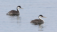 Western grebes are sometimes seen in Yellowstone during the spring.