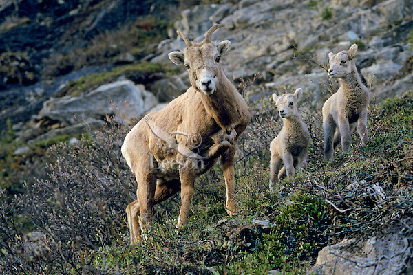 Rocky Mountain Bighorn Sheep ewe with lambs (probably only one lamb is hers as bighorn seldom have twins, though frequently one or two ewes will watch over several lambs).  Northern Rockies.  June.