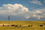 Afternoon thunder storm over Aermotor windmill and grazing black cattle in the Sand Hills of Nebraska gathered by a pond.