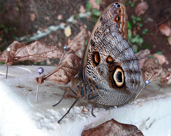 A close up Dorsal of the Cream-strped Owl standing amongst leaf-looking cocoons waiting to dry in a Butterfly Garden in Costa Rica. The butterfly's multi-segmented eye, antennae and blue, cream and brown markings are clear on this newly hatched Owl.