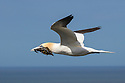 Northern Gannet (Morus bassanus) in flight with seaweed for nest, Bempton Cliffs RSPB Reserve, Yorkshire, UK. May