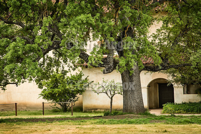 An ancient oak tree by the north entrance to the main chapel, Mission San Antonio de Padua, California.