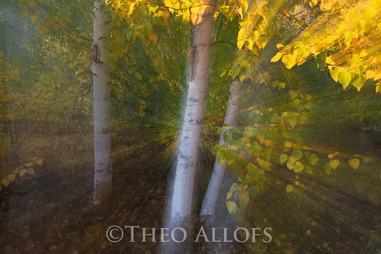 Aspen trees in fall; blur caused by zooming lens during exposure, Canada