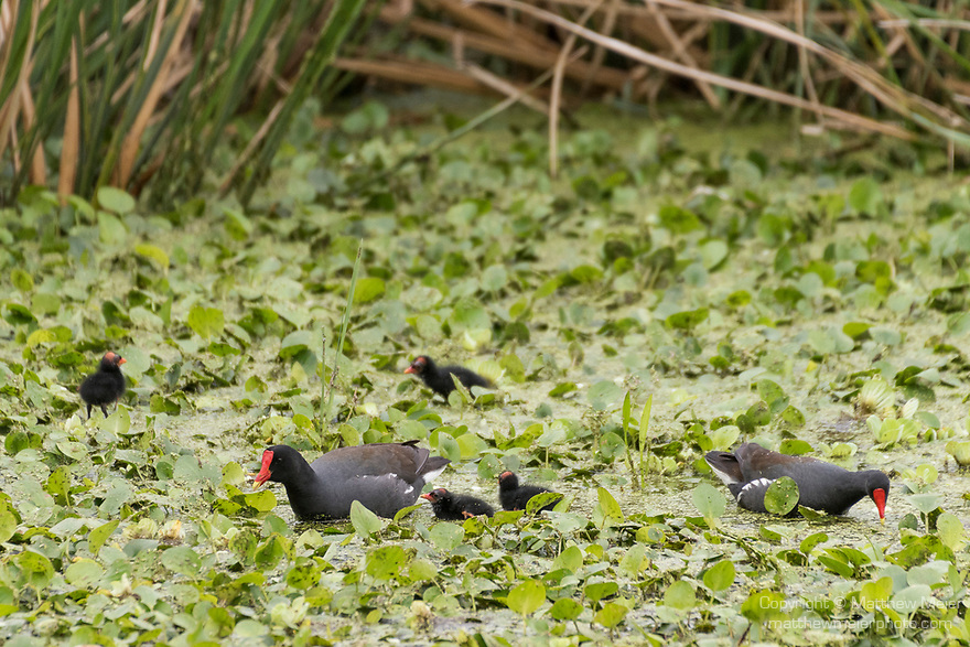 Brazoria County, Damon, Texas; newly hatched Common Moorhen chicks forage for food with their parents on the surface of the slough