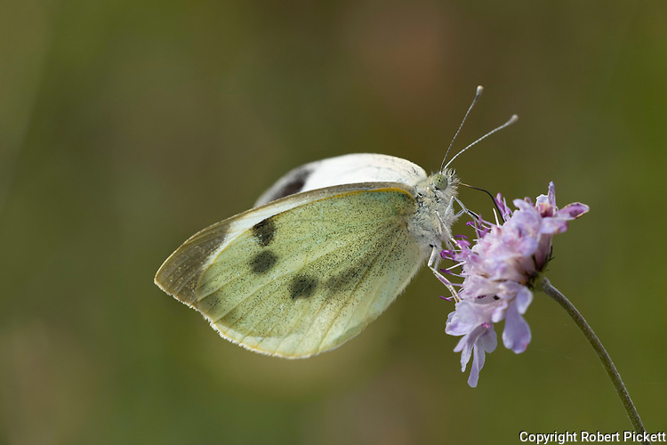Large White Butterfly, Pieris brassicae, feeding on scabious flower,Temple Ewell, Kent Wildlife Trust, UK