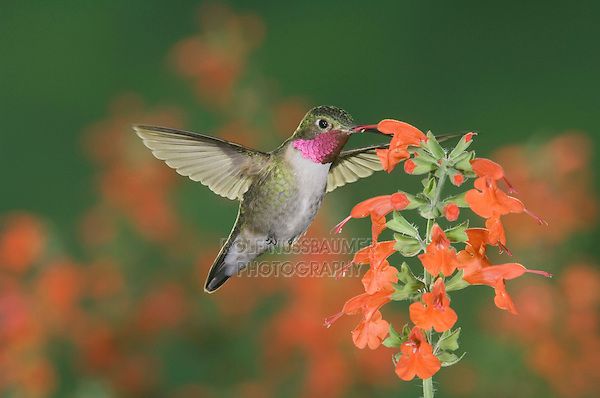 Broad-tailed Hummingbird, Selasphorus platycercus,male in flight feeding on Lady in Red Sage (Salvia coccinea),Rocky Mountain National Park, Colorado, USA