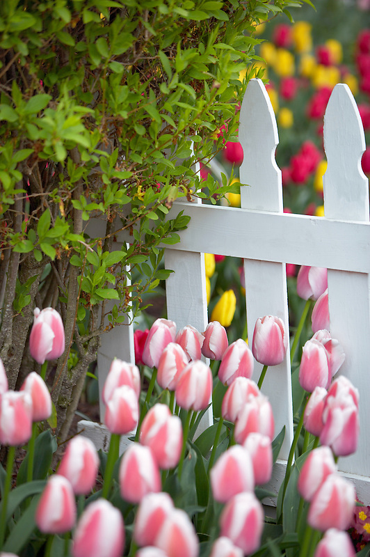 Tulips beds with white picket fence. Roozengaarde display garden. Mt. Vernon. Washington
