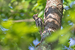 Immature yellow-bellied sapsucker in the woodland of northern Wisconsin.