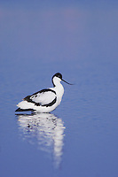 Pied Avocet, Recurvirostra avosetta, adult, National Park Lake Neusiedl, Burgenland, Austria, April 2007