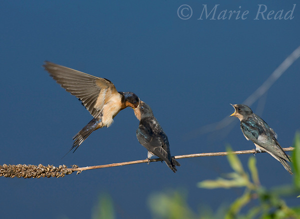 Barn Swallow (Hirundo rustica), adult in flight feeding perched fledgling, Ithaca, New York, USA<br /> Slight digital retouch (stick removed)