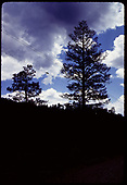 Silhouette of pine trees against sky.<br /> D&amp;RGW